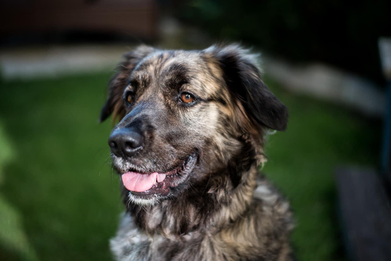 Tierportrait Hund Mischling Labrador Retriever